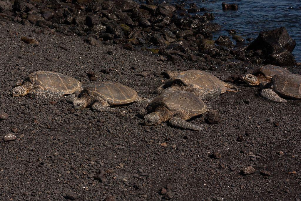 Flitterwochen-Hawaii-Green Sea Turtles