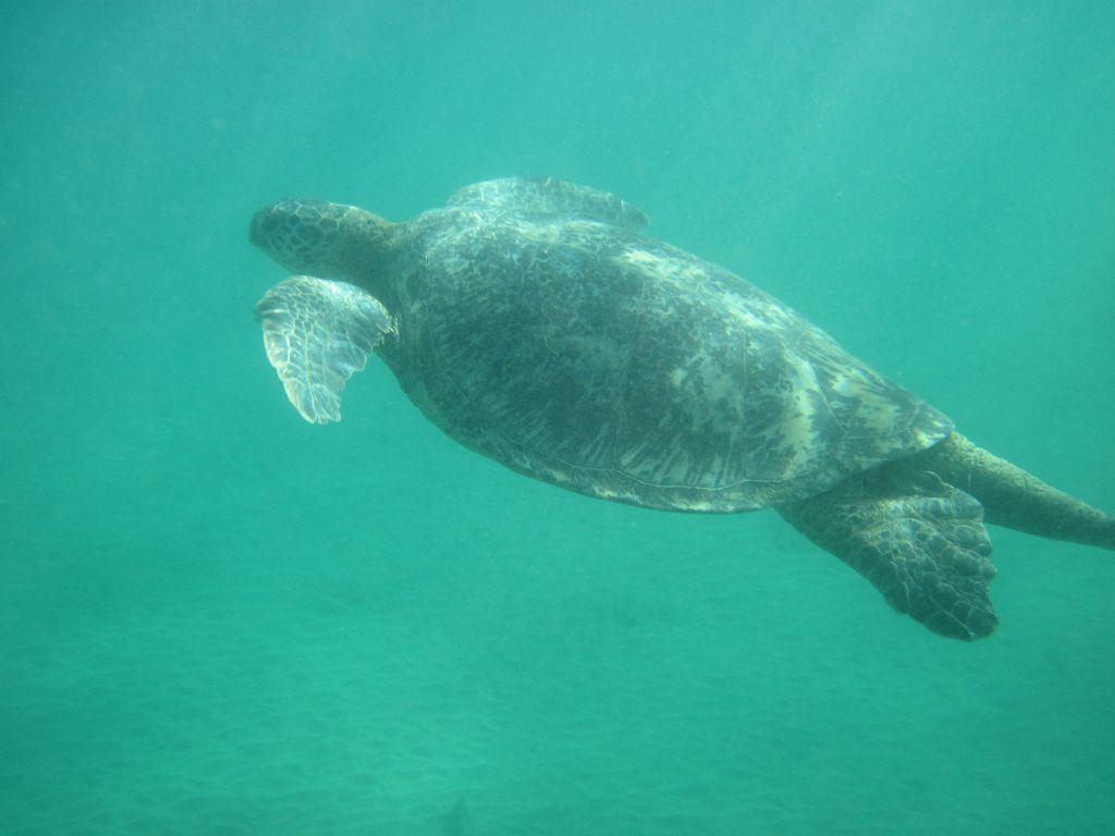 Flitterwochen-Hwaii-Green-Sea-Turtle